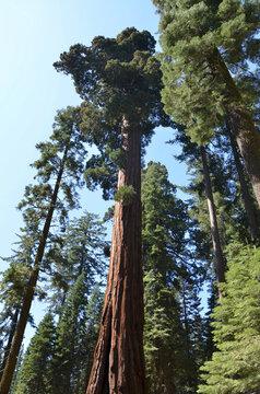 Giant Sequoias of Mariposa Grove Yosemite National Park