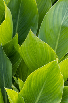 canna green leaves background