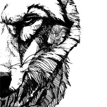 vecton graphic freehand drawing of the head of a severe wolf. imitation black ink isolated on white background. can be used as a tattoo, illustrations, printing on T-shirts, postcards, advertising.
