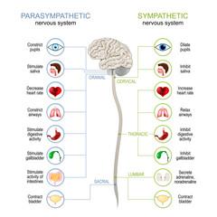 Obraz Sympathetic And Parasympathetic Nervous System. - fototapety do salonu