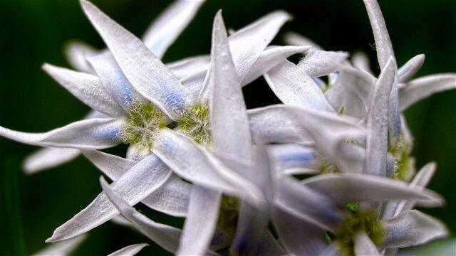 Macro Close Up of Bluestar Flower