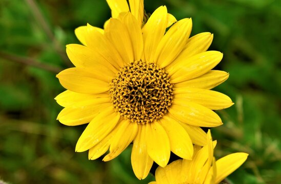 Close Up of Yellow Daisy Flower
