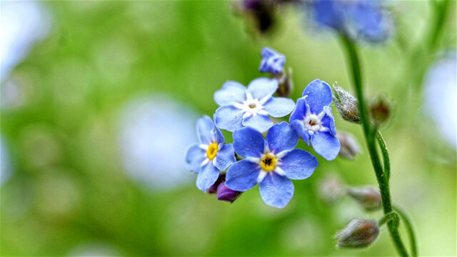 Close Up of Forget me Not Flowers