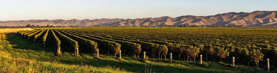 panorama of vineyard