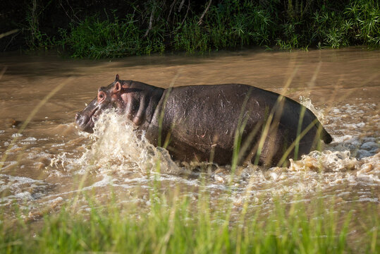 Hippo splashes through muddy river watching camera
