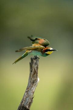 European bee-eater flies away from tree stump