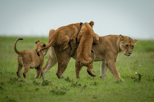 Cubs play fighting with lioness crossing grass