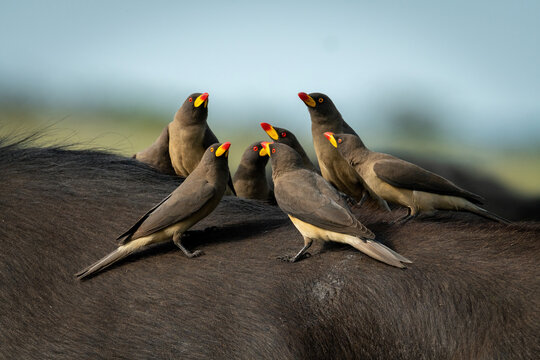 Group of yellow-billed oxpeckers perch on buffalo