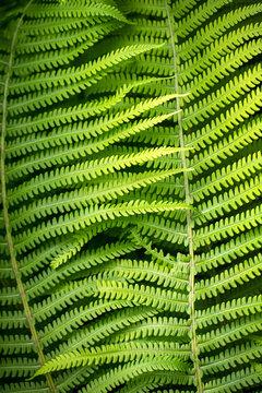 Close-up of matteuccia struthiopteris, common names ostrich fern, fiddlehead fern, or shuttlecock fern