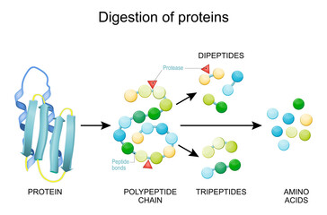 Fototapeta Protein Digestion. Enzymes obraz