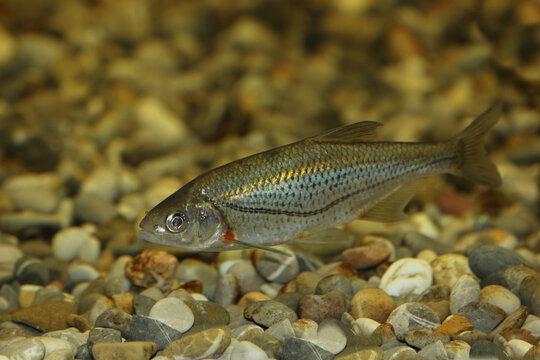 Schneider oder Alandblecke / Schneider or Spirlin / Alburnoides bipunctatus