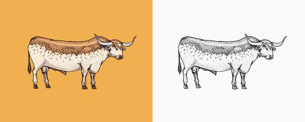 Fototapeta Domestic Cow. Farm animal. Vintage sketch for shop. Badge for t-shirts. Hand Drawn engrave Vector illustration. obraz