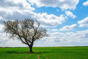 Samotne drzewa na polu