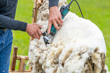 Obraz Man shearing a sheep with instrument. Farmer working with sheep wool. - fototapety do salonu