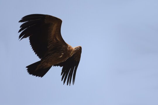 Indian vulture flying high in Bandhavgarh National Park