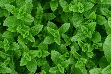 Fototapeta Fresh mint plants obraz