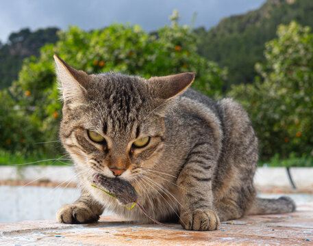 A cat with caught mouse