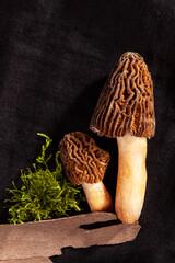 Fototapeta Detail shot of Verpa bohemica - edible and tasty mushroom. obraz