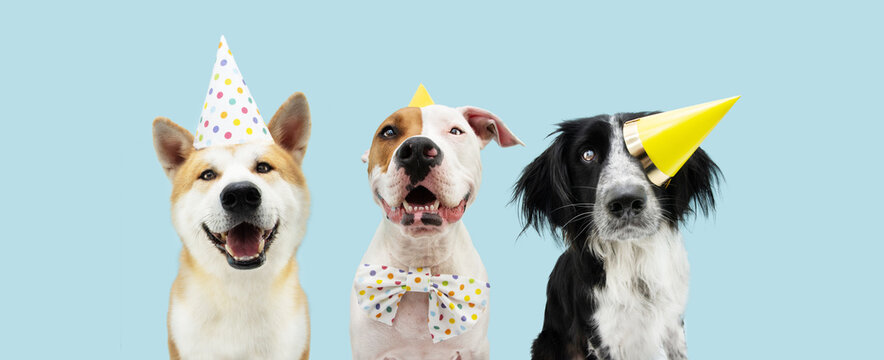 Banner Birthday party dog. Three smiling akita, border collie and american staffordshire wearing a yellow hat. Isolated on blue colored background.