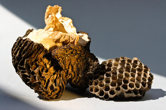 Still life with dry light morchella and wasp nest