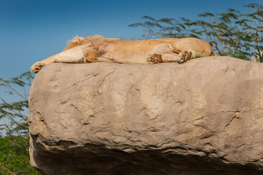 An unusual white lion an old leader covered with scars rests on a high rock and sleeping