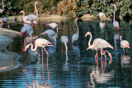 many pink flamingos feed on crustaceans in a lake in a zoo or nature park. Amazing birds live in the hot countries of Africa and the Arabian Peninsula