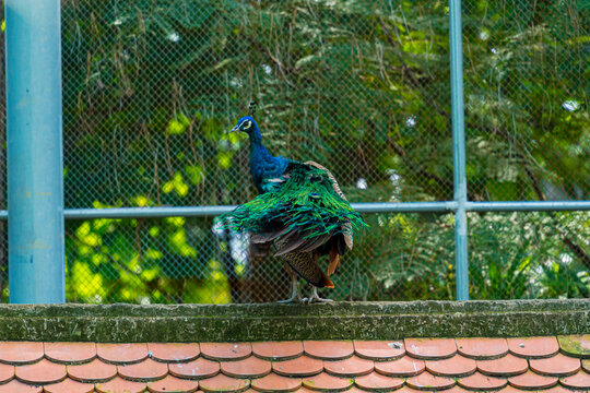 Peacock - peafowl with open tail, beautiful representative exemplar of male peacock in great metalic colors in Vietnam. Selective focus.