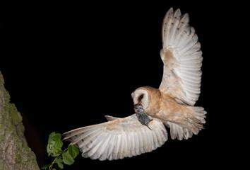 Tyto alba Płomykówka Barn owl