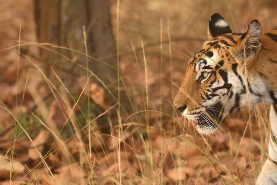 Side view portrait of Royal bengal tiger at Bandhavgarh national park