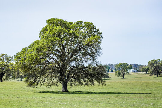 Valley oak (Quercus lobata) on a meadow with new green leaves growing in springtime, Stanislau County, California