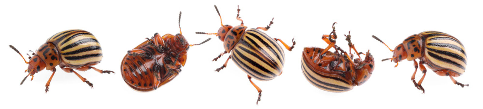 Colorado potato beetles on white background, collage. Banner design