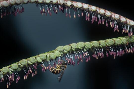 asiatic honey bee on the paspalum flower.