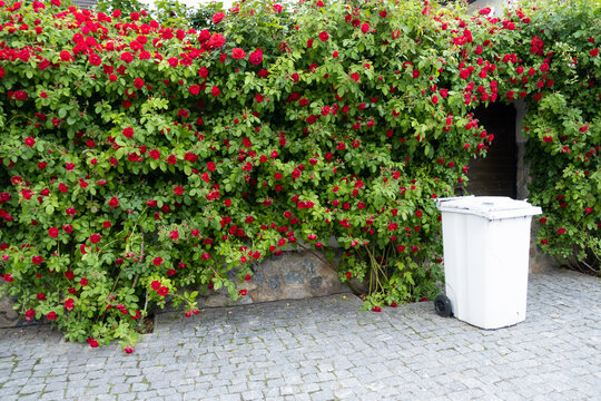 Red tea rose fence. Fence decoration from prying eyes.