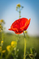 Obraz czerwony polny mak w naturalnym środowisku - fototapety do salonu