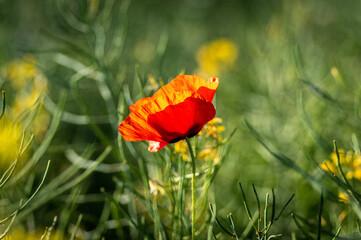 czerwony polny mak wśród zielonych traw