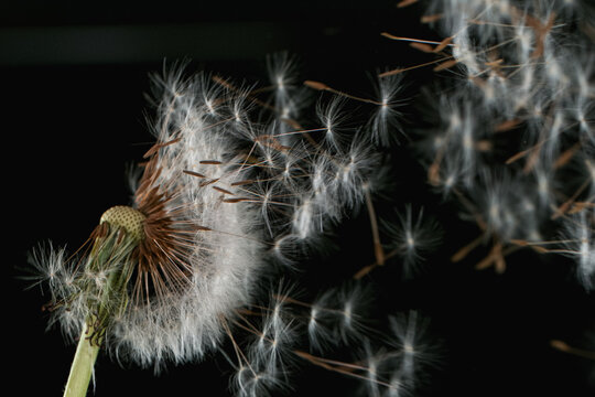 Macro Shot of Dandelion Seeds Being Blown isolated on Black Background