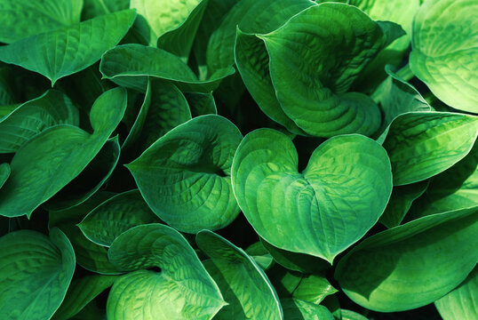 Green leaves background with shadows and sunlight spots, hosta plant in summer