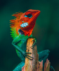 Proud colorful lizard held his head high and sitting on top of a wooden pole, Colorful skinned dragons face side view close up.