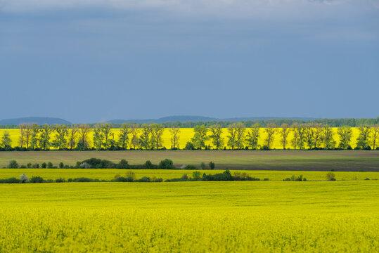 Oilseed rape field, Podilski Tovtry National nature park, Podolia region of Ukraine