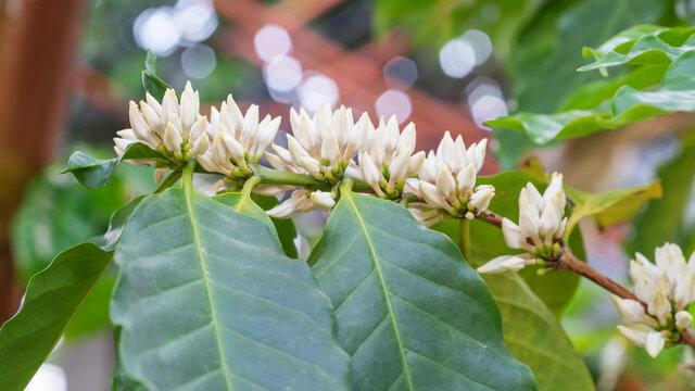 White arabica coffee flower plant in a garden.