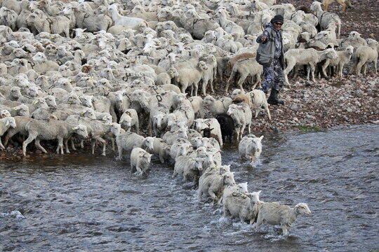 A shepherd guides sheep across a river in Almaty Region
