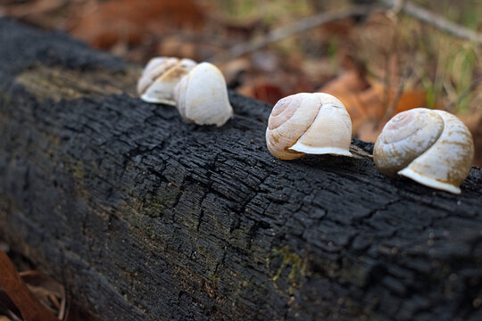 Snail shells on burned tree in Chattahoochee National Forest mountains on the Turkey trail near John's Mountain in Georgia