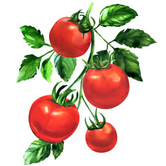 Fototapeta Branch of fresh tomato with leaves, ripe red organic vegetable, close-up, vegetarian food, natural ingredient, package design element, isolated, hand drawn watercolor illustration on white background obraz