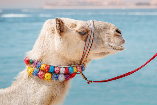 A decorated camel is waiting for tourists on the background of the sea. Travel adventures in Arabia and Africa