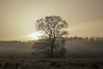 Obraz Lonely tree without leaves at sunrise with fog - fototapety do salonu