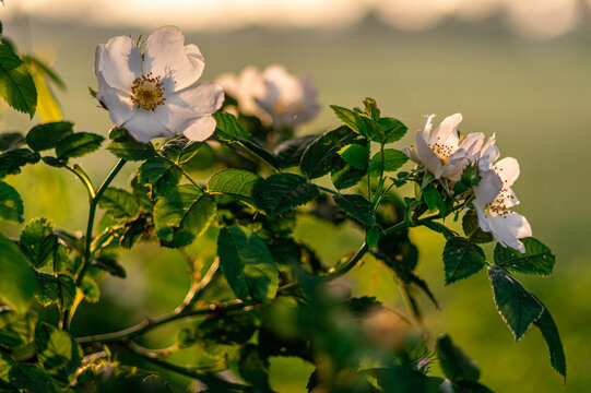 krzew kwitnącej dzikiej róży (Rosa canina)