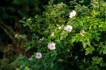 Fototapeta krzew dzikiej róży kwitnącej obraz