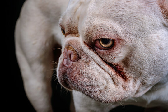 Portrait of an English bulldog with a black background