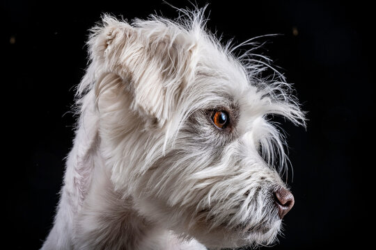 Portrait of a Jack-Russell terrier with a black background