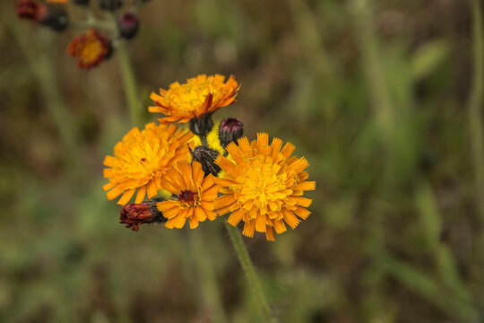 field in nature area with grass and orange hawkweed in the Achterhoek